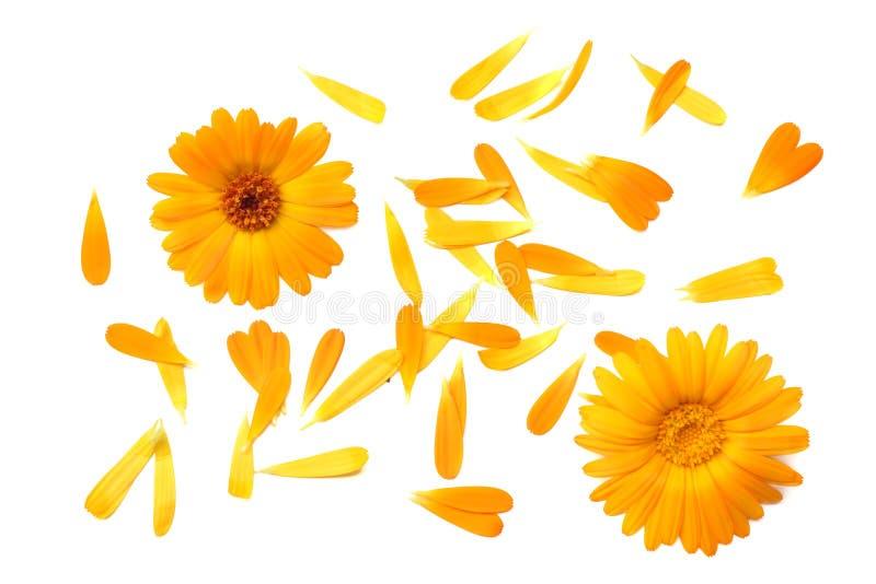 Flores do cravo-de-defunto com as pétalas isoladas no fundo branco Flor do Calendula Vista superior imagens de stock