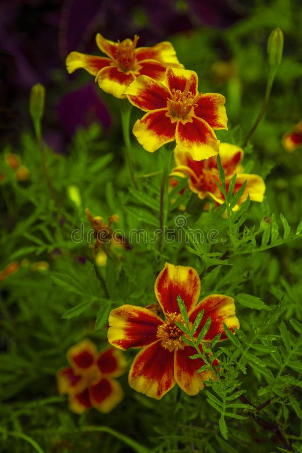 Flores do cravo-de-defunto do sinete, flores do tenuifolia dos tagetes foto de stock royalty free
