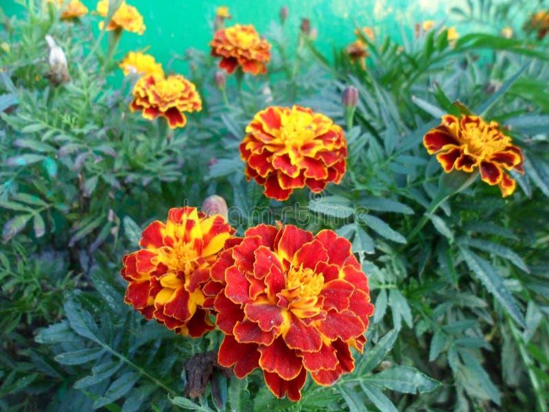 Flores do cravo-de-defunto Um símbolo de Ucrânia foto de stock royalty free