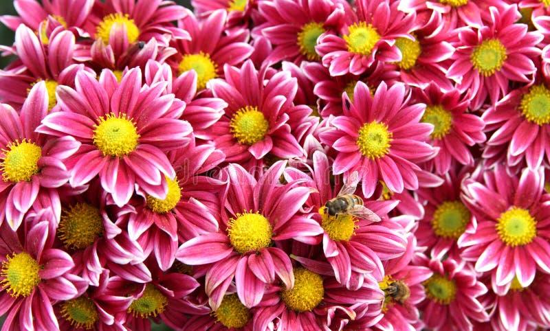 Flores do crisântemo do outono imagem de stock