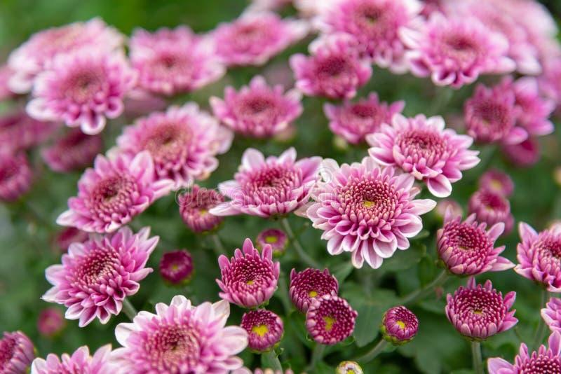 Flores do crisântemo em um jardim foto de stock