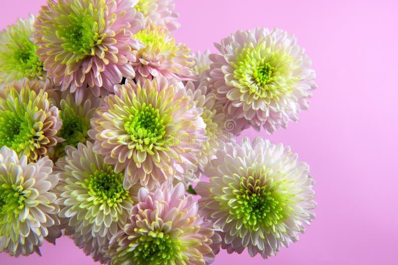 Flores do crisântemo sobre o fundo cor-de-rosa imagens de stock