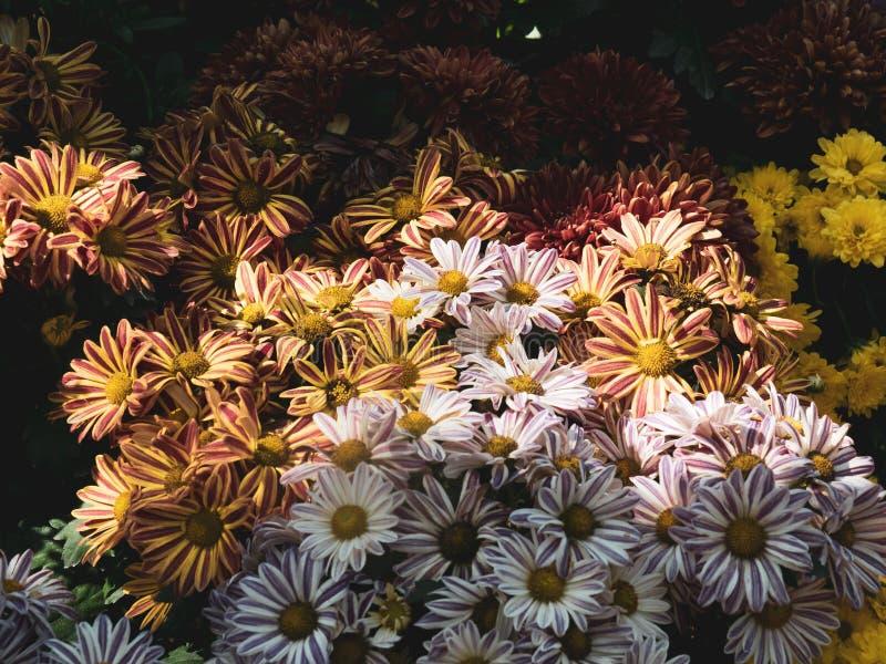 Flores do crisântemo, tom da cor ajustado ao tom do vintage imagem de stock royalty free