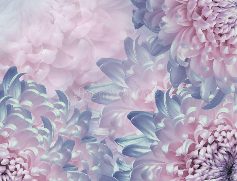 Flores do cris?ntemo Fundo cor-de-rosa e azul colagem floral Composi??o da flor Close-up foto de stock royalty free