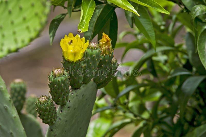 Flores do d'india do fico com abelha fotos de stock royalty free