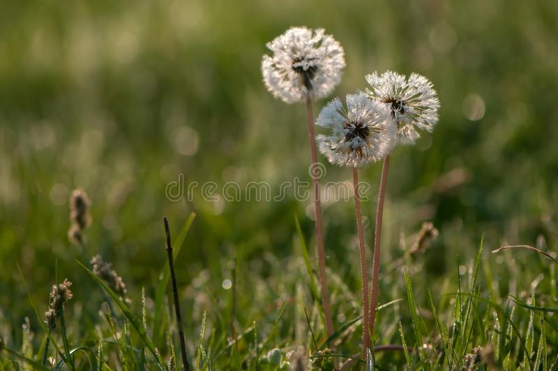 flores do dente-de-leão no orvalho sob os primeiros raios do sol no verão imagens de stock