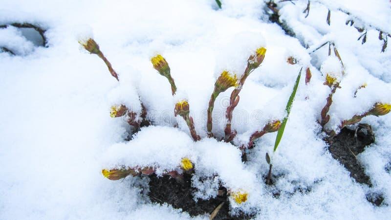 flores do dente-de-leão sob a neve fotografia de stock royalty free