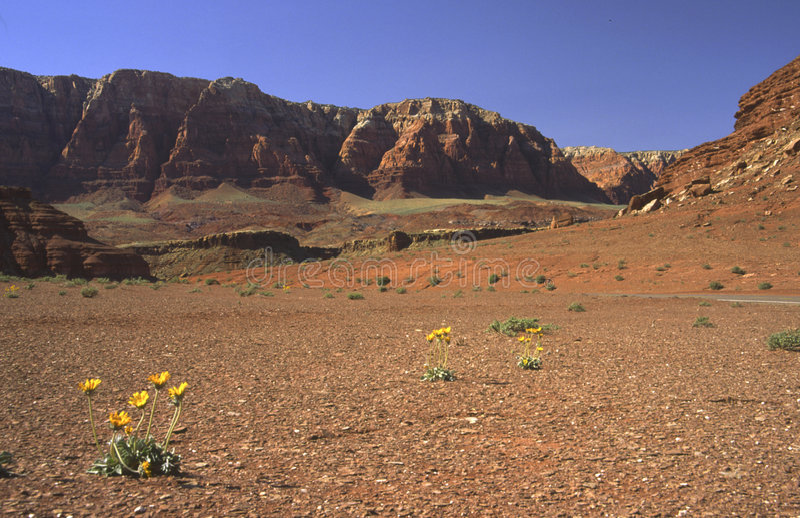 Flores do deserto no Arizona do norte foto de stock royalty free