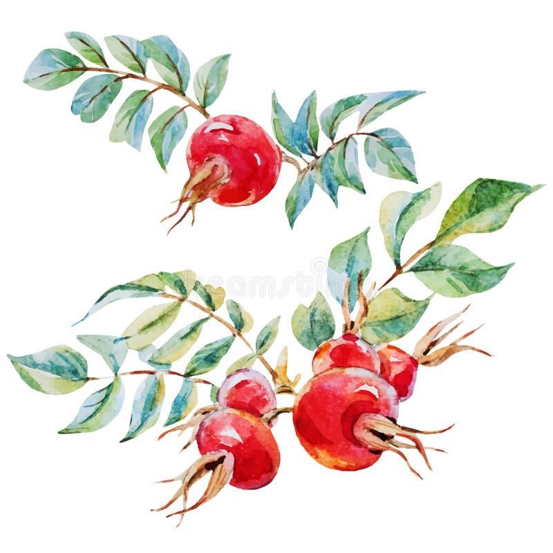 Flores do dogrose do vetor da aquarela ilustração royalty free