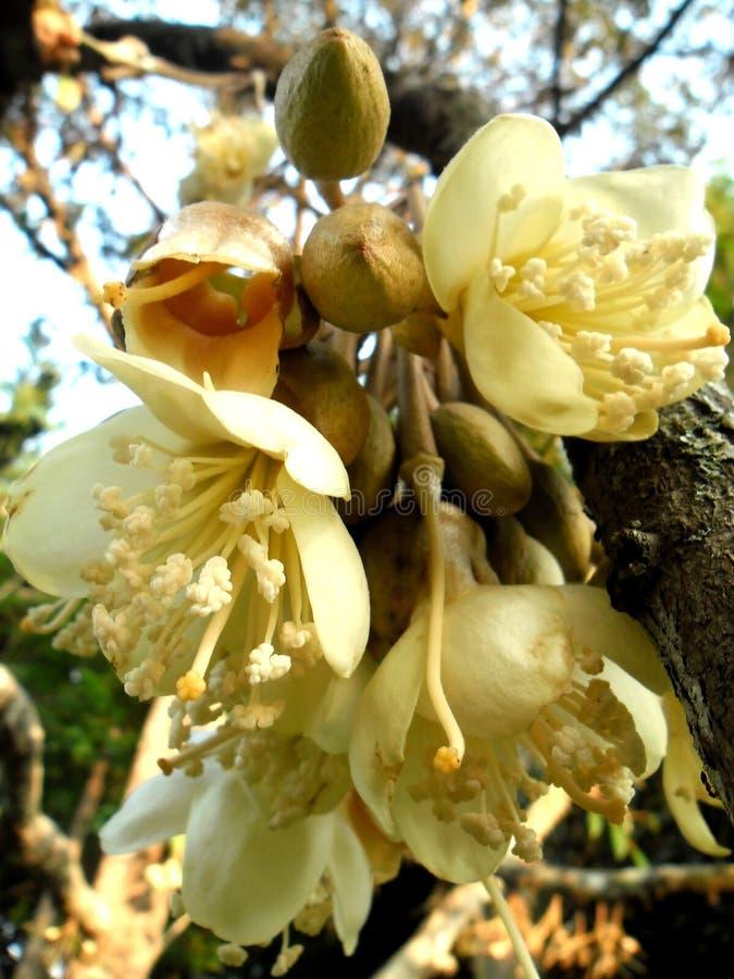 Flores do Durian foto de stock royalty free