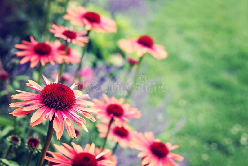 Flores do Echinacea imagens de stock