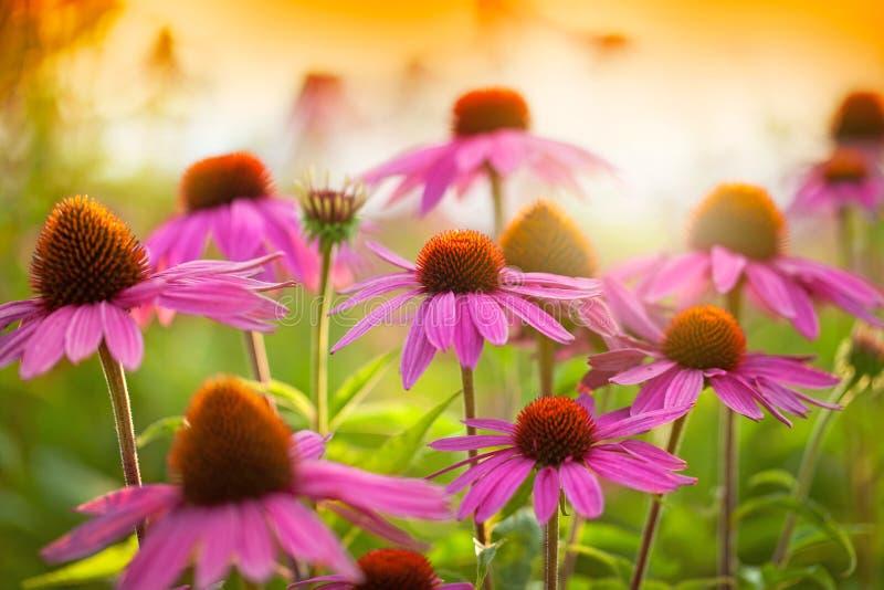 Flores do Echinacea fotografia de stock