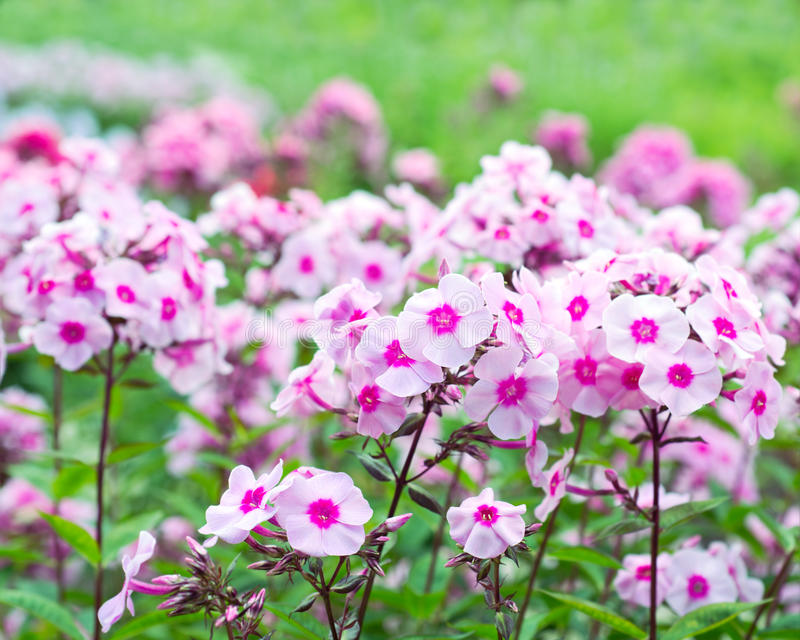 Flores do flox foto de stock royalty free