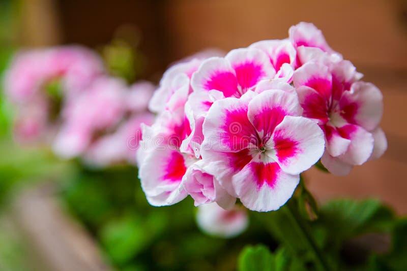 Flores do flox em um potenciômetro imagem de stock royalty free