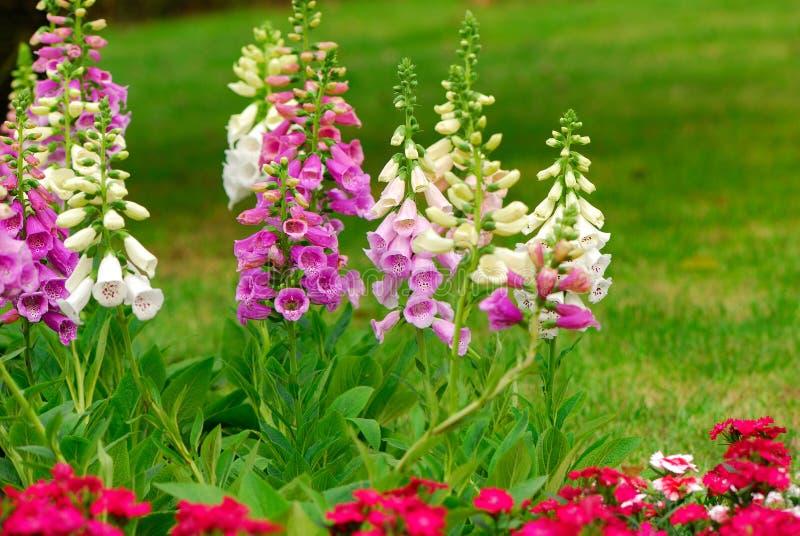 flores do foxglove imagens de stock