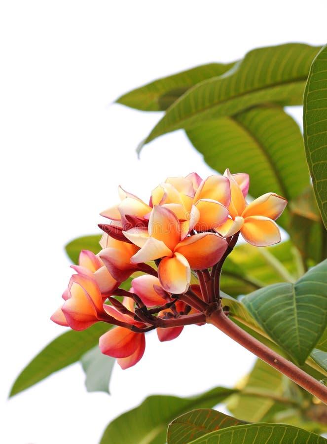 Flores do Frangipani fotografia de stock