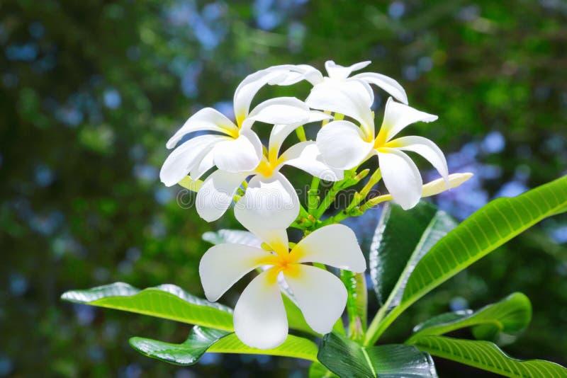 Flores do Frangipani imagens de stock royalty free