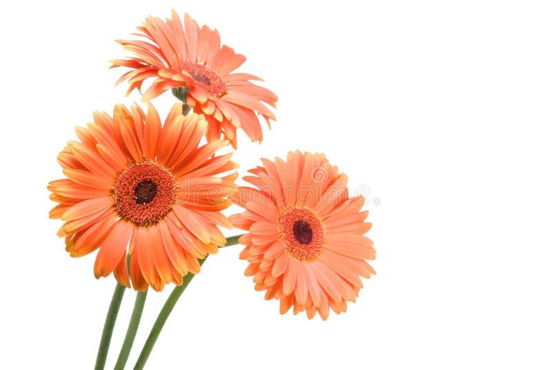 Flores do Gerbera fotografia de stock