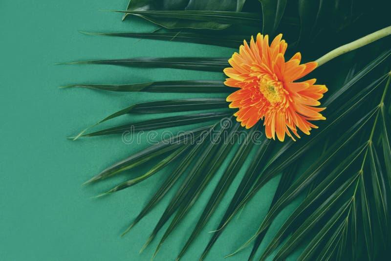 Flores do gerbera de Oreang na planta tropical das folhas de palmeira frescas no verde imagens de stock royalty free