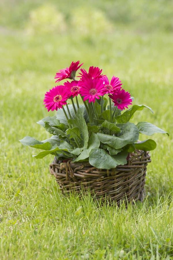 Flores do Gerbera em uma cesta foto de stock royalty free