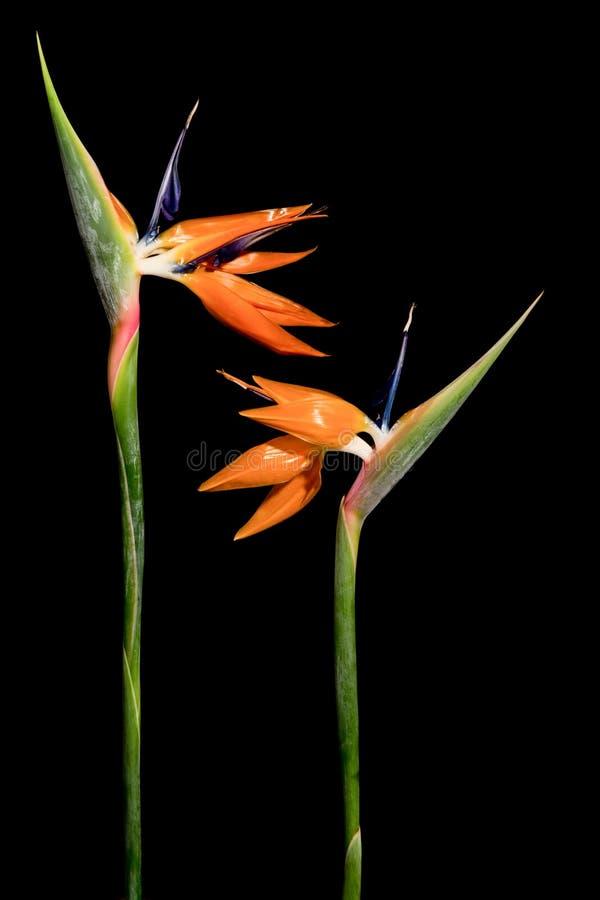 Flores do guindaste no preto imagem de stock