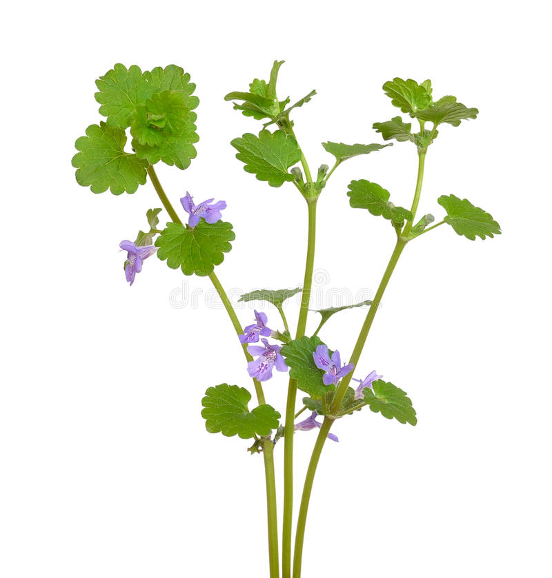 Flores do hederacea do Glechoma fotografia de stock
