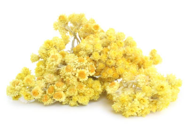 Flores do Helichrysum fotografia de stock