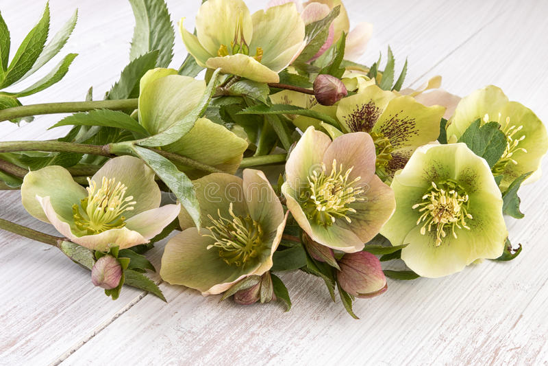 Flores do Hellebore ou Natal Rosa (orientalis do Helleborus) foto de stock royalty free
