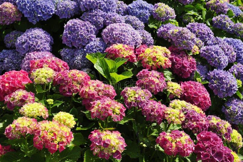 Flores do Hydrangea fotos de stock