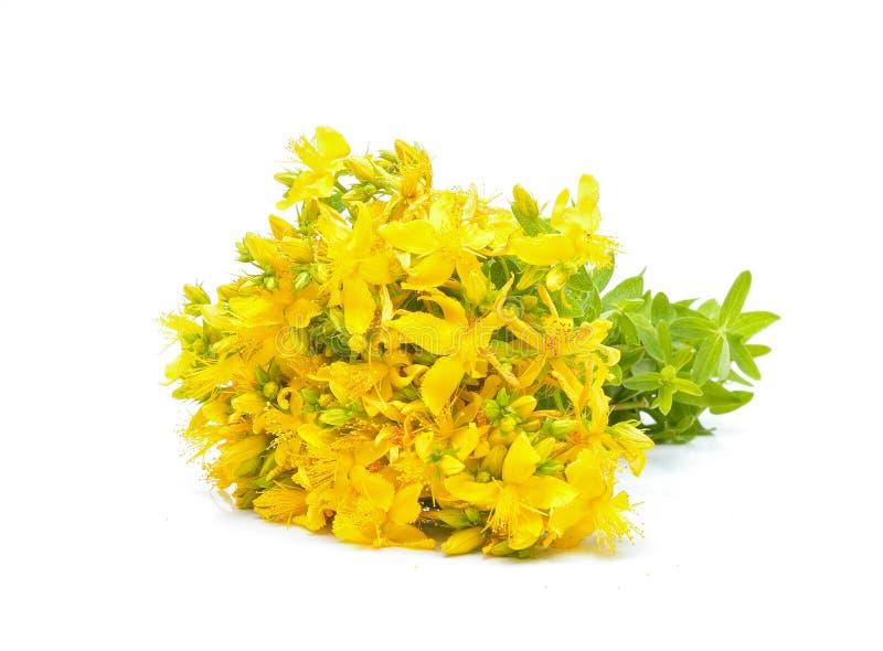 Flores do Hypericum fotografia de stock