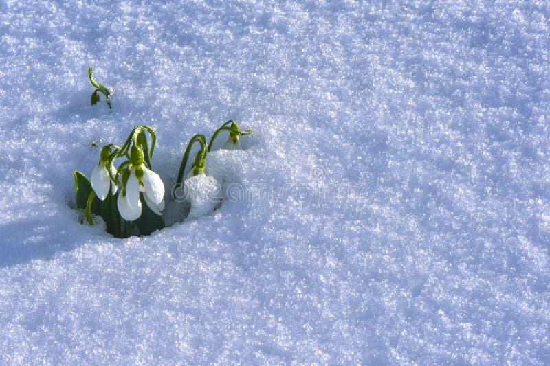 Flores do inverno; despertando a hora para a flor & o modelo para a luta fotos de stock