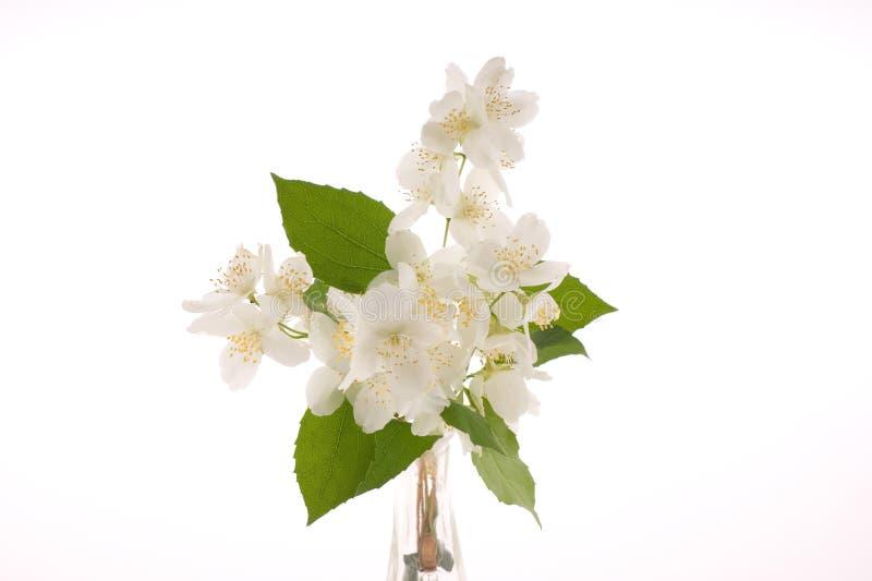 Flores do jasmim fotos de stock