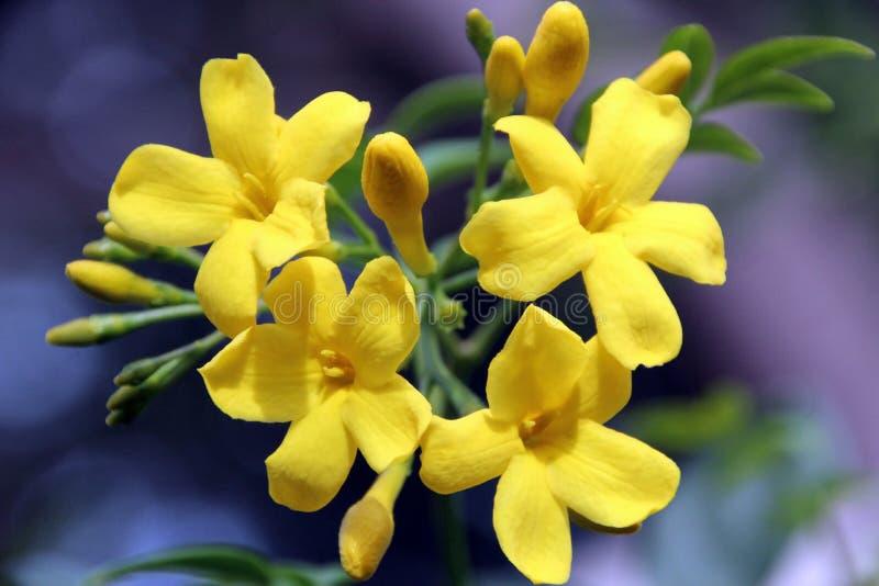 Flores do jasmim de Carolina foto de stock royalty free