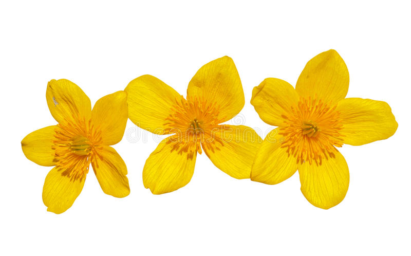 Flores do kingcup 11 fotos de stock royalty free