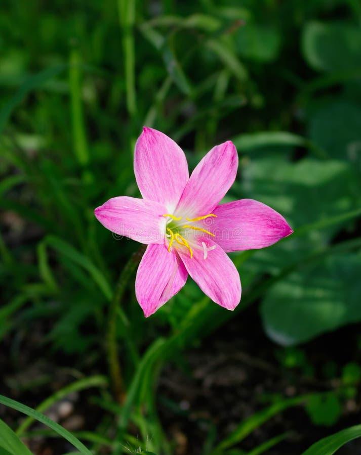Flores do lírio da chuva & x28; ZEPHYRANTHES PLANT& x29; em Tailândia imagem de stock royalty free