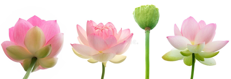 Flores do lírio de água no fundo branco fotos de stock royalty free