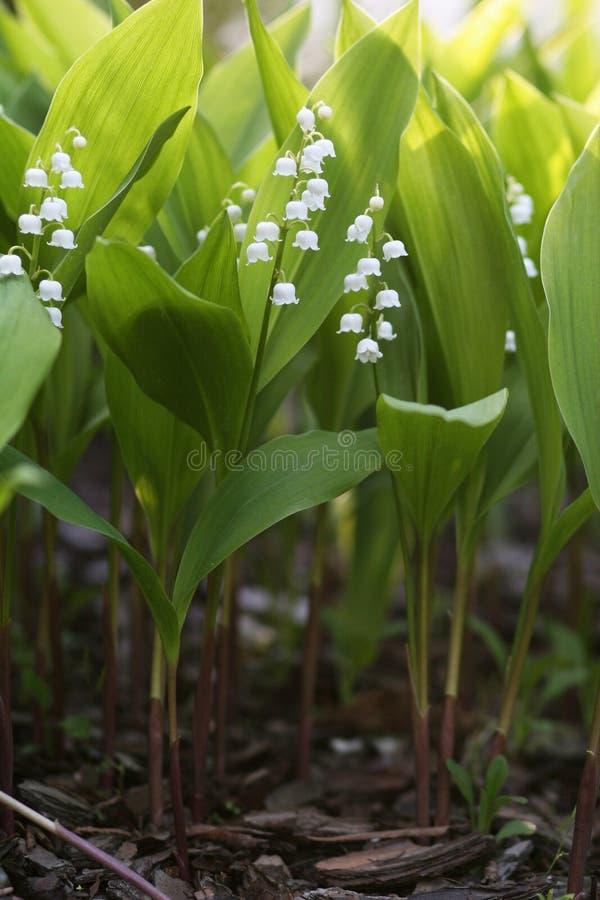 Flores do lírio do vale, majalis do Convallaria fotografia de stock royalty free