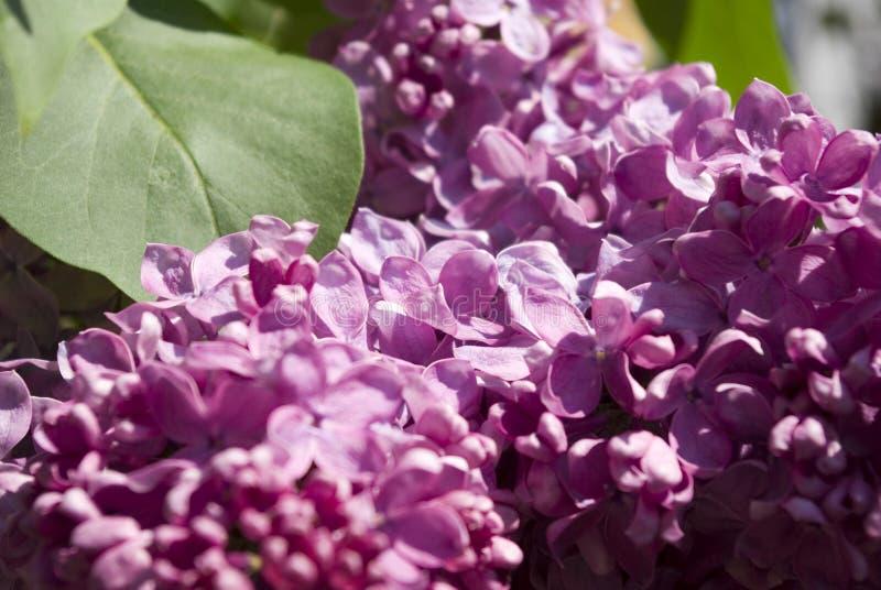 Flores do Lilac imagem de stock