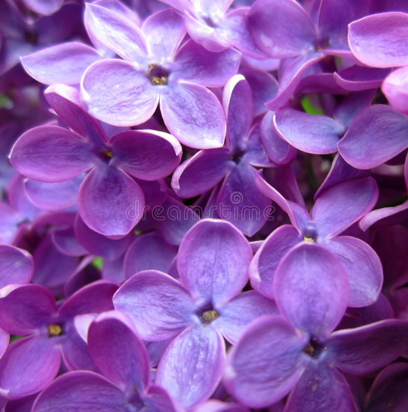 Flores do Lilac foto de stock royalty free