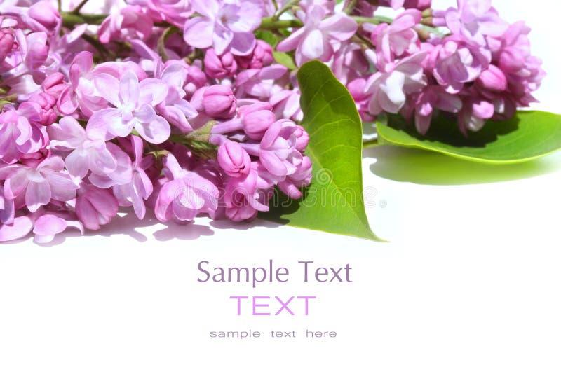 Flores do Lilac isoladas de encontro ao branco imagem de stock