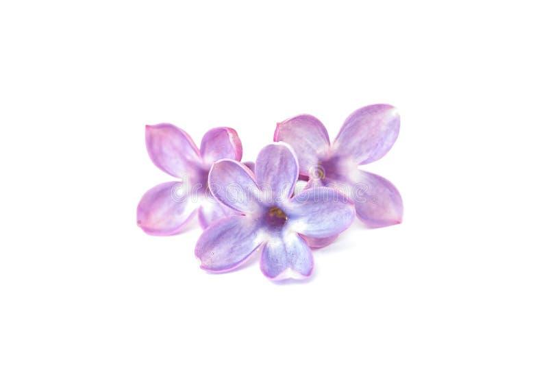 Flores do Lilac isoladas Flor afortunada de cinco pétalas imagens de stock