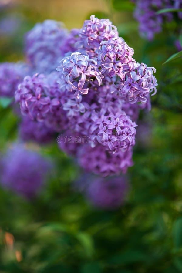 Flores do Lilac na flor foto de stock
