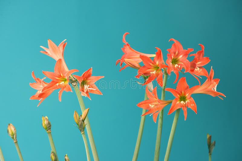 Flores do Lilium fotografia de stock