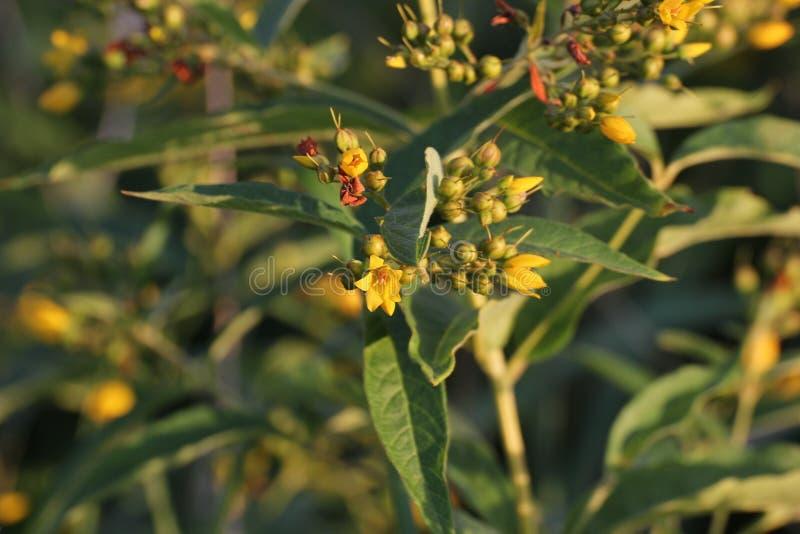 Flores do Loosestrife amarelo foto de stock royalty free