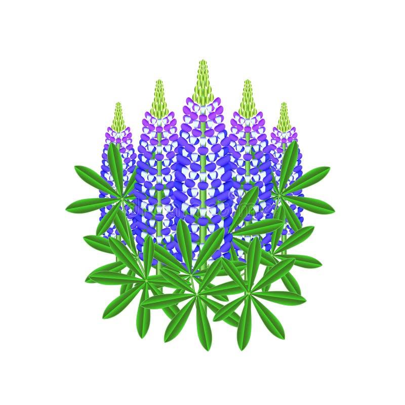 Flores do Lupine isoladas no vetor branco ilustração royalty free