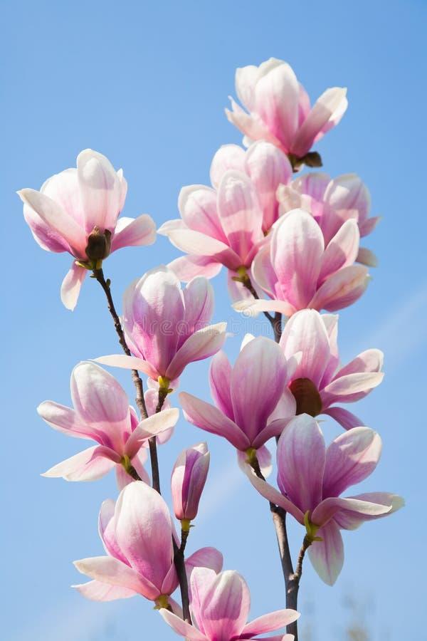 Flores do Magnolia fotos de stock royalty free