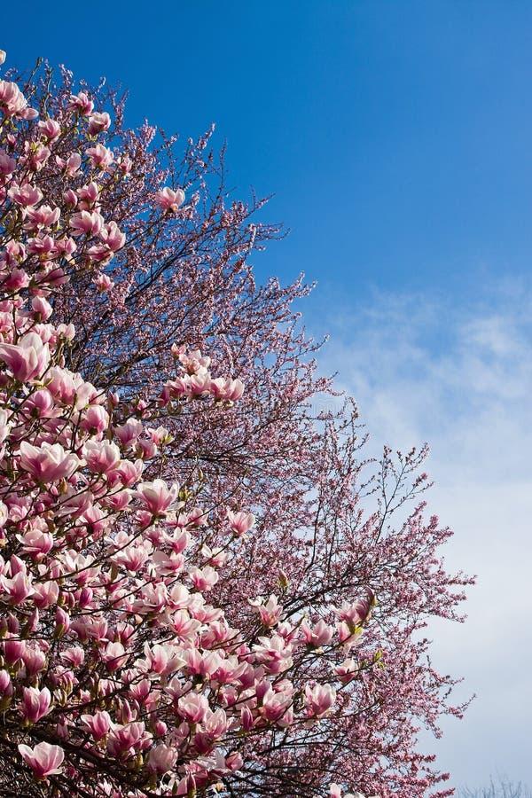 flores do magnolia imagem de stock royalty free