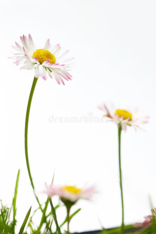 Flores do marguerite da mola fotos de stock royalty free