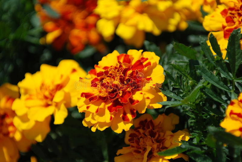 Flores do Marigold fotos de stock