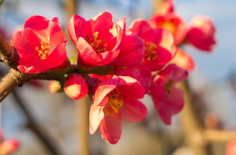 Flores do marmelo japon?s de floresc?ncia fotografia de stock